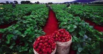 gajenje jagoda na njivi