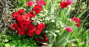 Grmolike-i-parkovske-ruze
