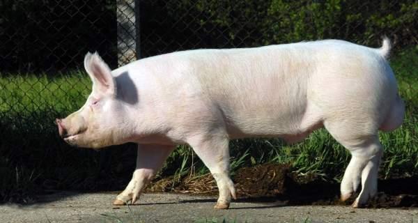 Jorksir-rasa-svinja