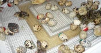 Lezenje-japanskih-prepelica-u-inkubatoru