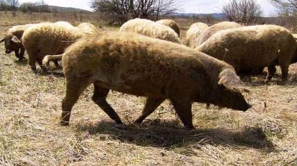 sumadijska-rasa-svinja