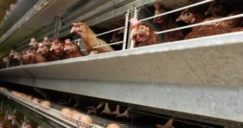 Isplativost proizvodnje jaja