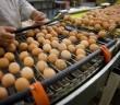 proizvodnja jaja za potrosnju