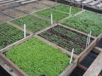 Savremena proizvodnja rasada povrća u plastenicima