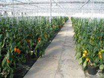 Proizvodnja paprike u plastenicima