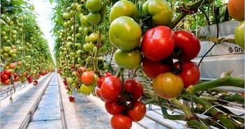 gajenje paradajza u plastenicima