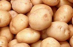 Rana proizvodnja mladog krompira u plastenicima i na otvorenom polju