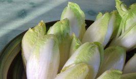 Proizvodnja salate radič (cikorija)