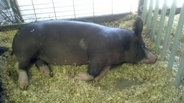 Bekrsir rasa svinja