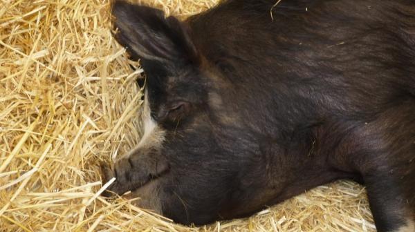 Velika crna svinja