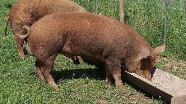 pravilna ishrana svinja