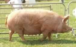 Izbor rase svinja za tovljenje