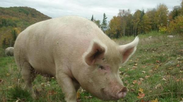 uzgoj svinja u Srbiji