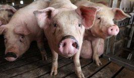 Bobice ili ikre kod svinja