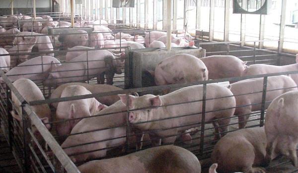 Crveni vetar simptomi kod svinja