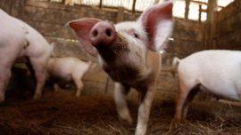 Crvi u crevima kod svinja