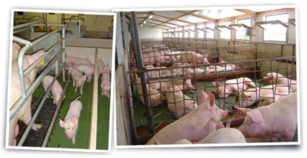 Dezinfekcija svinjaca 2
