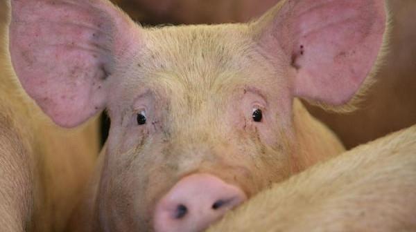 Gliste kod svinja