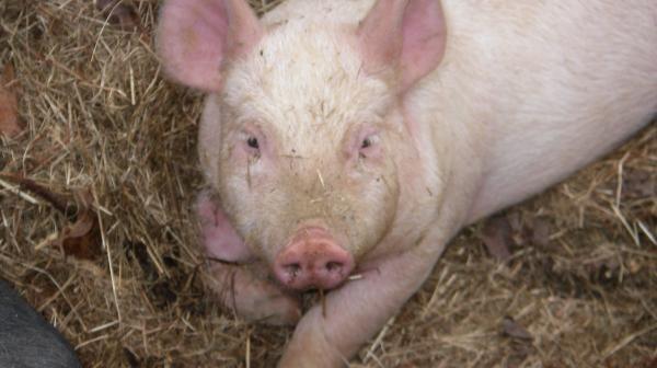 Kilavost kod svinja