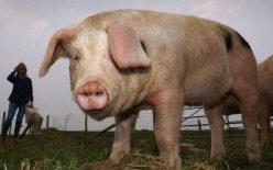 Rahitis ili engleska bolest kod svinja