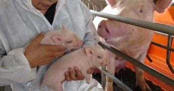 Strana tela u zdrelu kod svinja