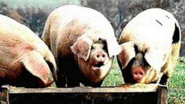 Sunčanica i bolest od vrućine kod svinja