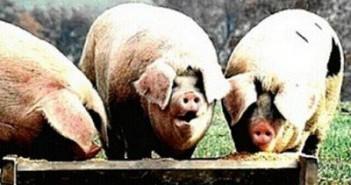 Suncanica kod svinja