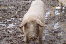 Trihineloza kod svinja