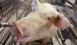 Zarazna uzetost svinja