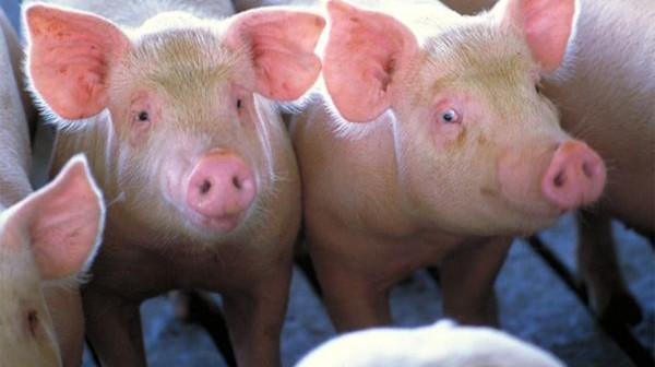 Zarazne bolesti kod svinja