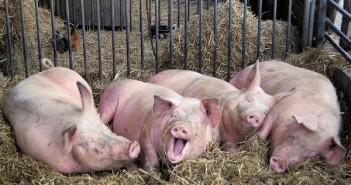 Zatvor i tvrda stolica kod svinja
