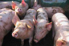 Mere koje treba preduzeti kod pojave zaraznih bolesti kod svinja