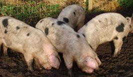 Uravnotežena ishrana bitna za pravilan razvoj svinja