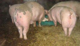 Šuga kod svinja