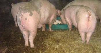 suga kod svinja