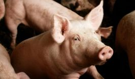 Zarazno zapaljenje želuca i creva kod svinja