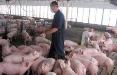 Žednjaci kod svinja (vodenjaci ili ehinokoke)