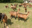 Uzgoj alpskih koza