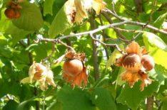 Saveti za uzgoj lešnika
