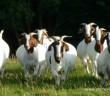 uzgoj koza