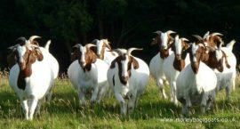 Uzgoj koza za meso i mleko