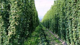 Saveti za uzgoj hmelja