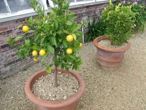 proizvodnja limuna