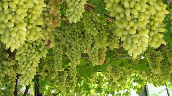 uzgoj grozdja