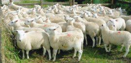 Saveti za uzgoj ovaca