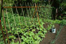 Saveti za uzgoj pasulja
