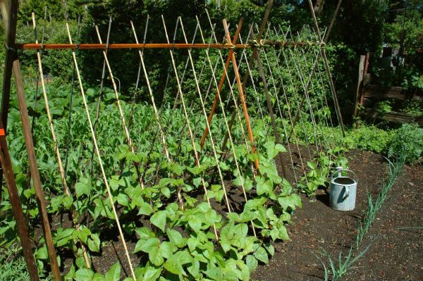 uzgoj pasulja