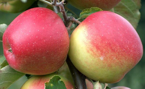 jonagold-jabuke