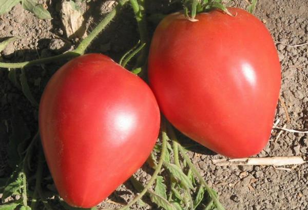 paradajz-volovo-srce
