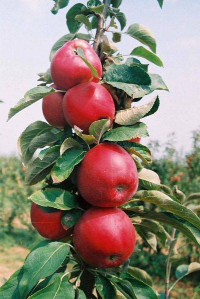 stubaste-jabuke-rumeno-vreteno